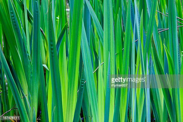 Close-up of green reeds growing upward