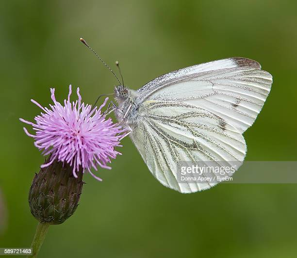 Close-Up Of Green-Veined White Butterfly Pollinating Fresh Pink Thistle In Garden