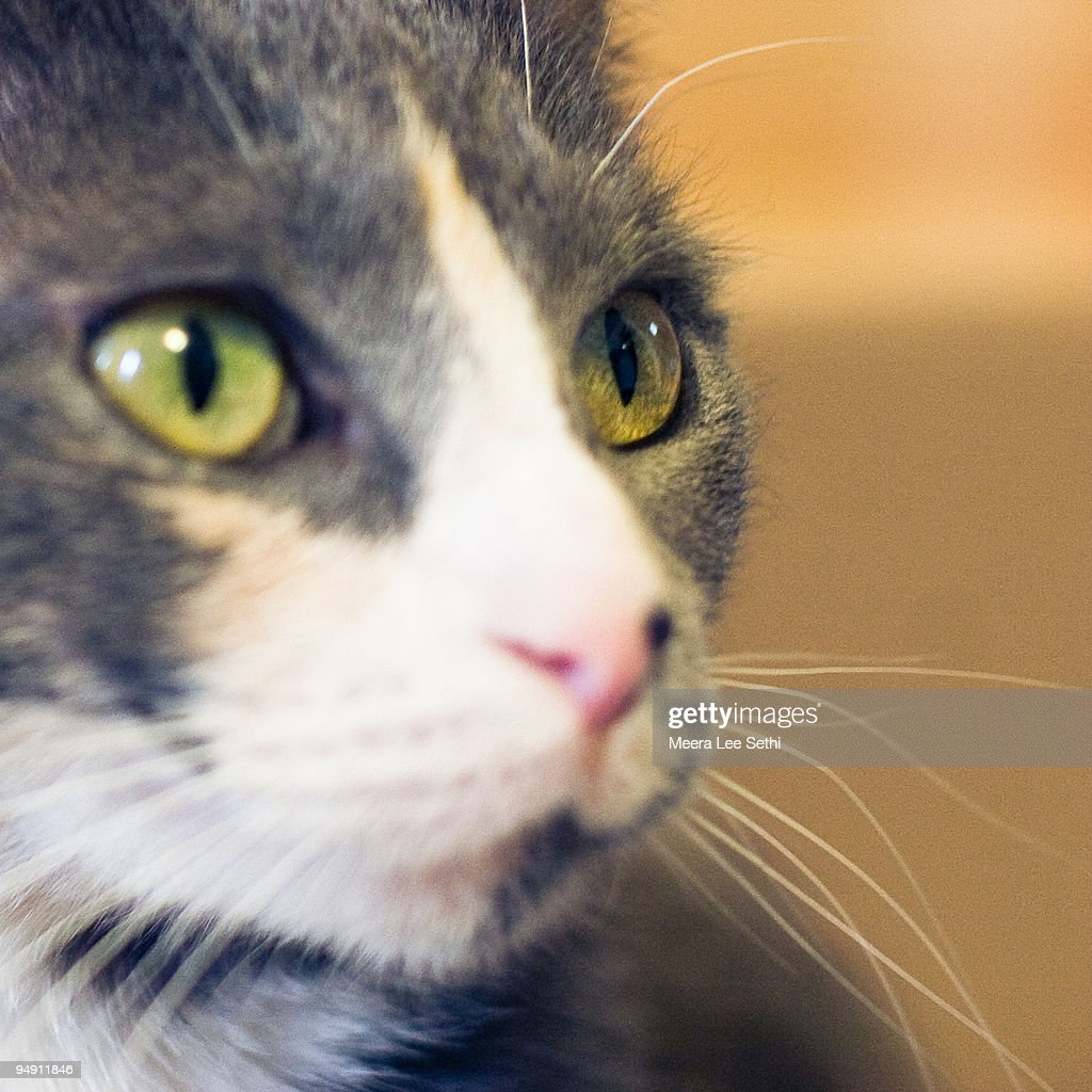 Close-up of Grey and White Cat with Green Eyes : Stock Photo