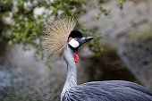 Close-Up Of Grey Crowned Crane In Field