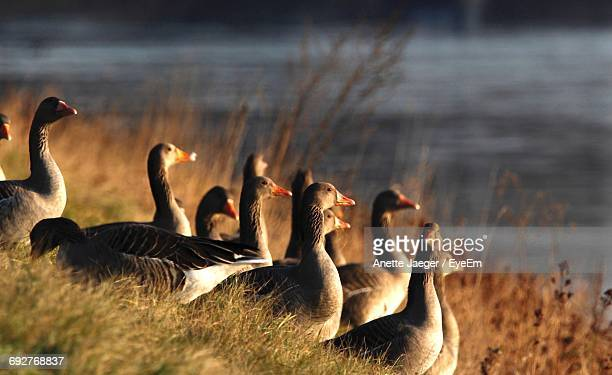Close-Up Of Grey Geese