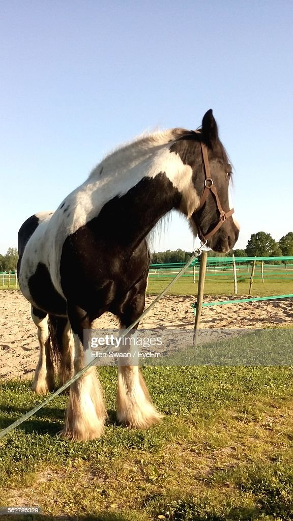 Close-Up Of Gypsy Horse On Field Against Clear Sky