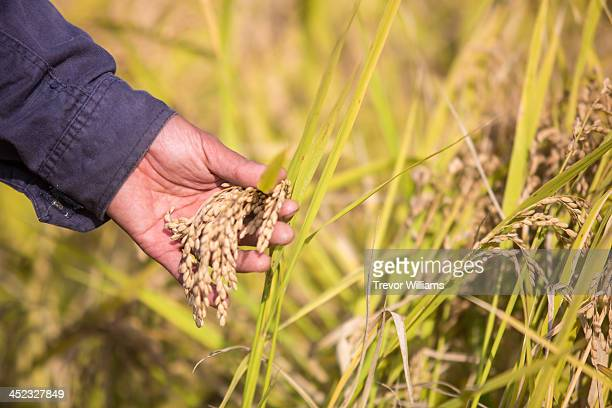 close-up of hand checking the rice before harvest