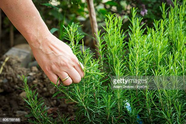 Close-Up Of Hand Harvesting Rosemary