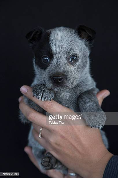 Close-up of hand holding cute puppy against black background