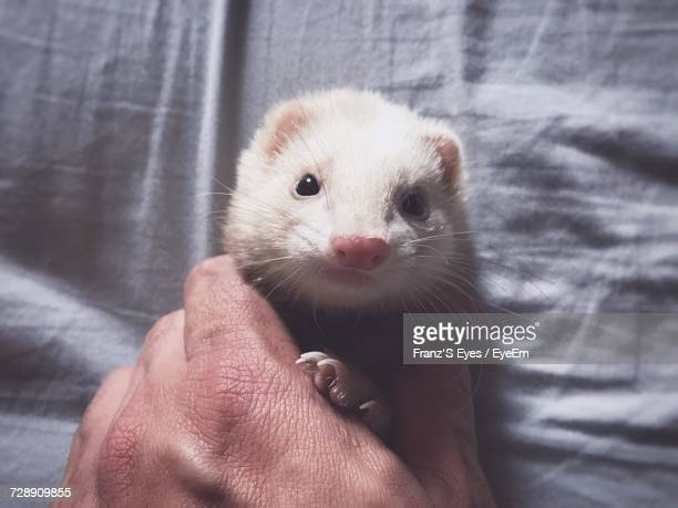 Close-Up Of Hand Holding Ferret