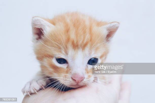 Close-Up Of Hand Holding Kitten Against White Background