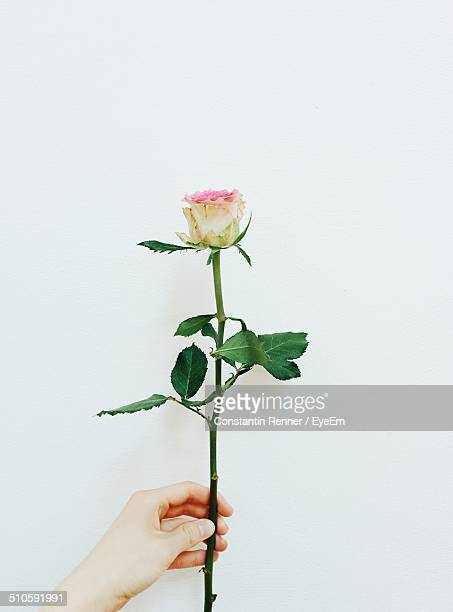 Close-up of hand holding rose over white background