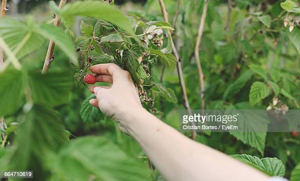 Close-Up Of Hand Picking A Ripe Raspberry