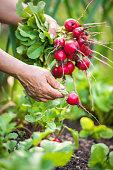 woman picking fresh radish from her garden