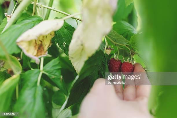 Close-Up Of Hand Picking Ripe Raspberries