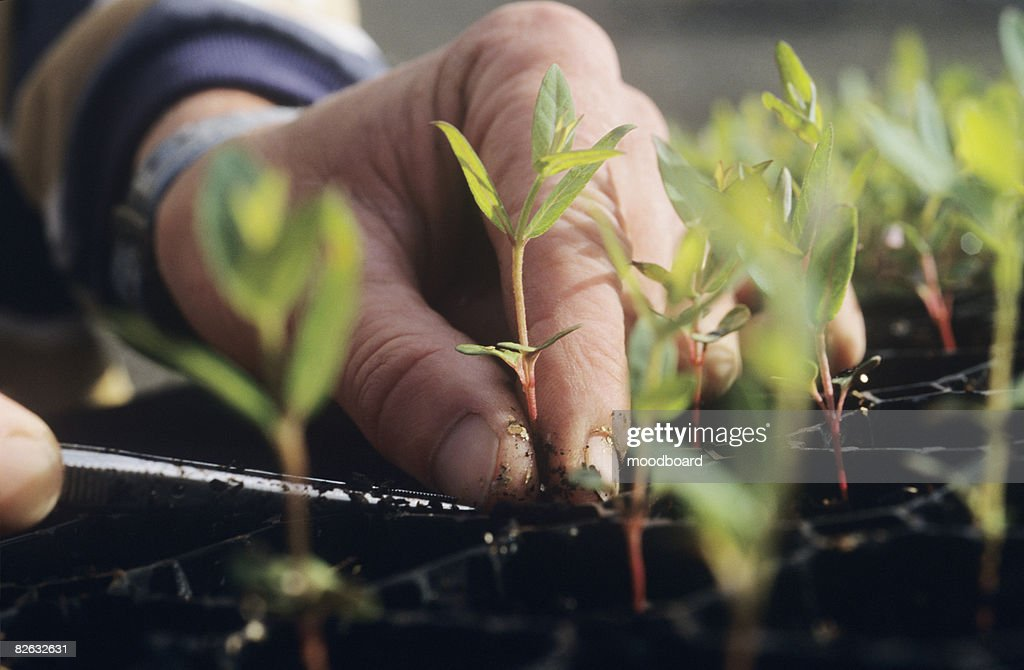 Close-up of Hands and Seedlings, Melbourne, Australia : Stock Photo