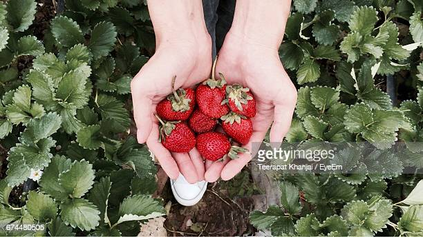 Close-Up Of Hands Holding Fresh Ripe Strawberries