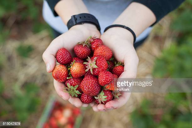Close-up of hands holding freshly picked strawberries in field