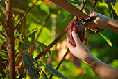 Close-up of hands with machete cutting cacao fruit in harvest time