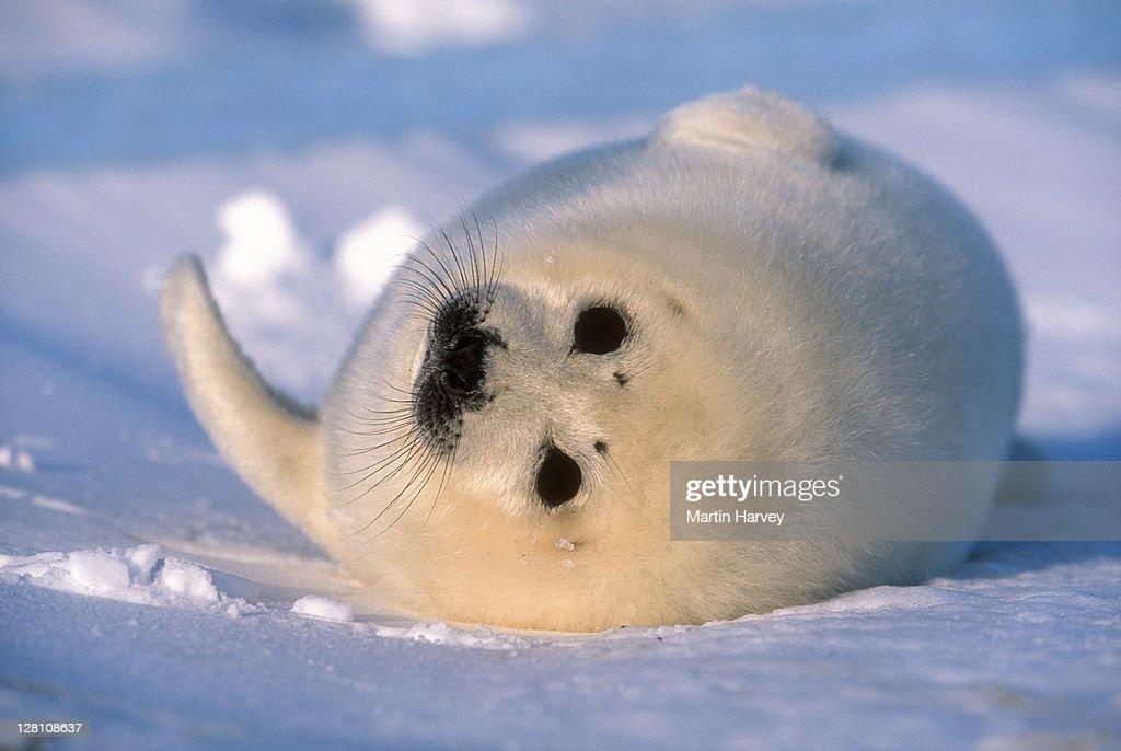 Harp Seals - rwinslow