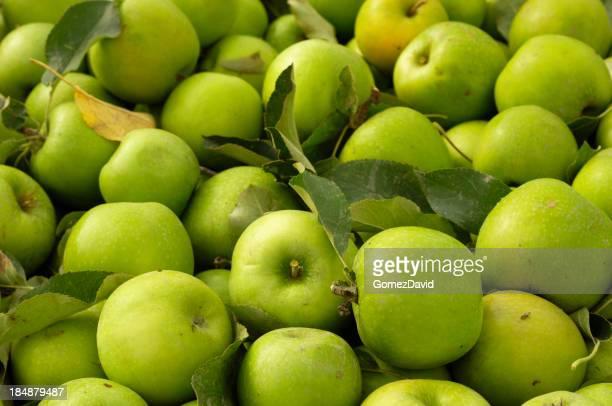 Close-up di raccolta mele Granny Smith
