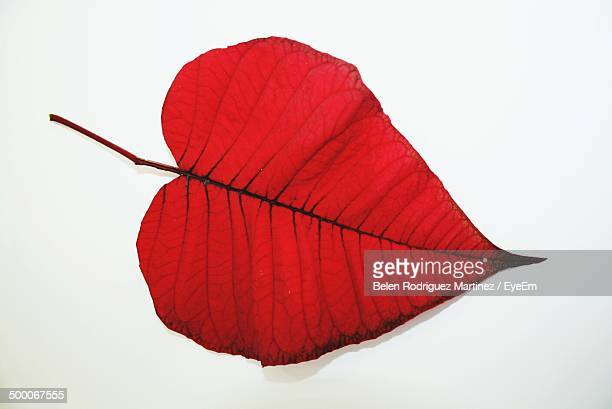 Close-up of heart shape red leaf over white background