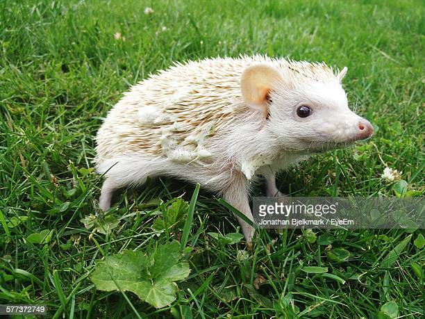 Close-Up Of Hedgehog On Grass Outdoors
