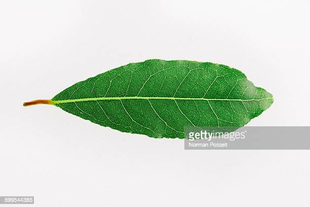 Close-up of herb on white background