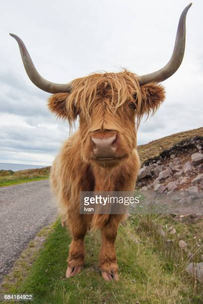 Closeup Of Highland Cow On Grassy Field with Super Wide, Fish Eye Lens,  (funny perspective with wideangle)