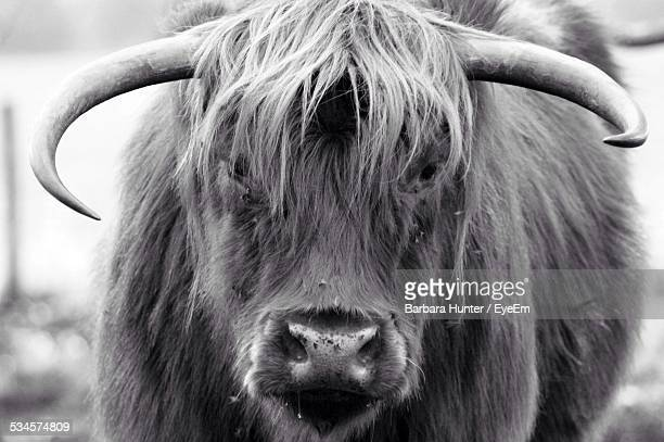 Close-Up Of Highland Cow