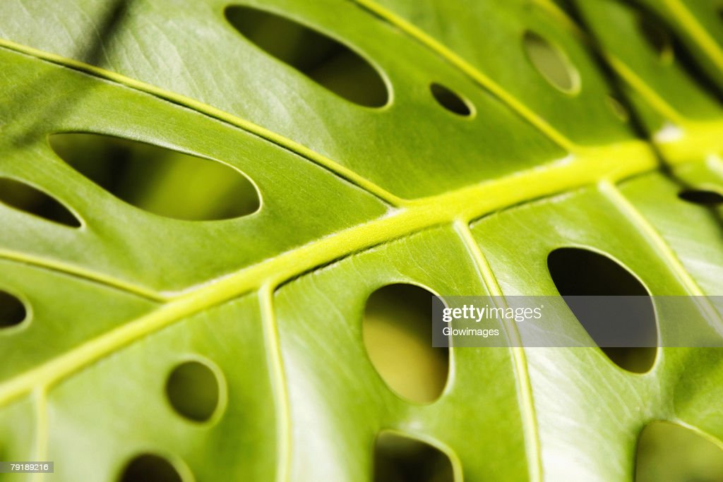 Close-up of holes in a leaf a philodendron (Philodendron selloum), Hawaii Tropical Botanical Garden, Hilo, Big Island, Hawaii Islands, USA : Stock Photo
