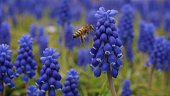 Close-Up Of Honey Bee Buzzing By Bluebell Flowers