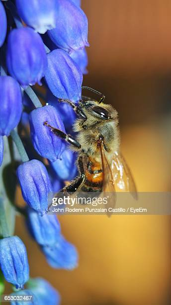Close-Up Of Honey Bee On Blue Flowers