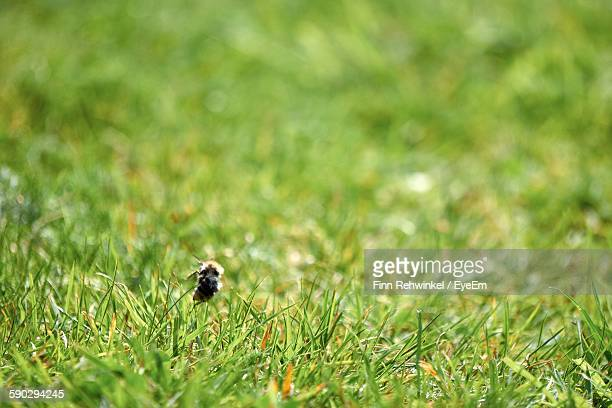 Close-Up Of Honey Bee On Grassy Field