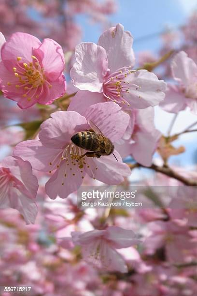 Close-Up Of Honey Bee On Pink Cherry Blossoms