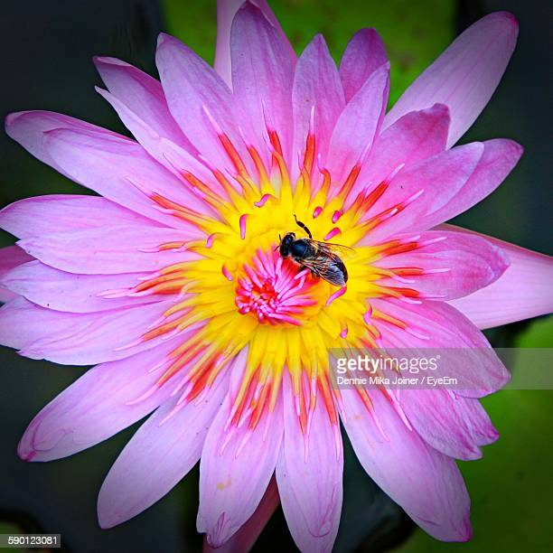 Close-Up Of Honey Bee On Pink Water Lily