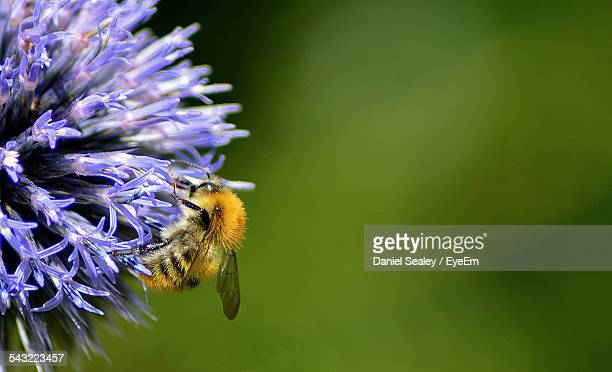 Close-Up Of Honey Bee On Purple Flower Outdoors