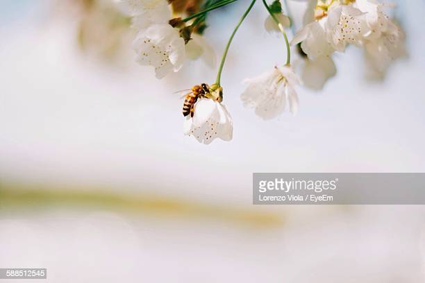 Close-Up Of Honey Bee On White Flowers Against Sky