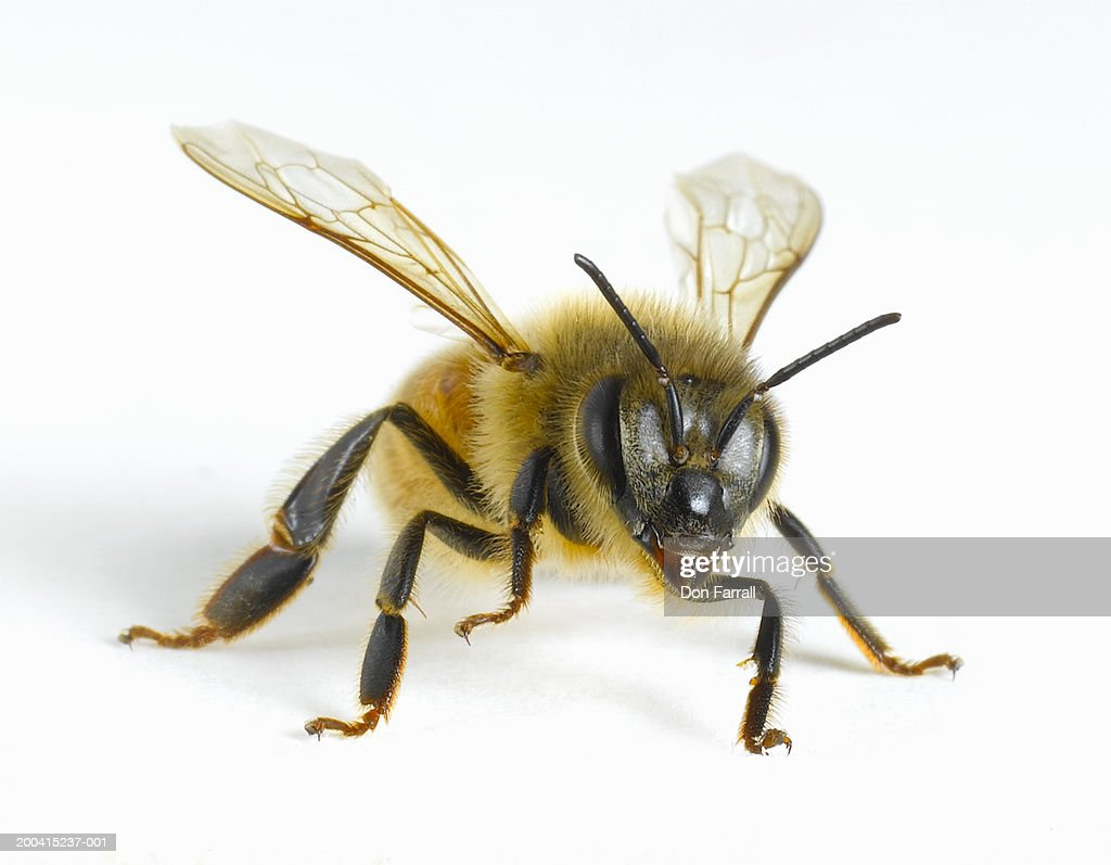 Close-up of honey bee : Stock Photo