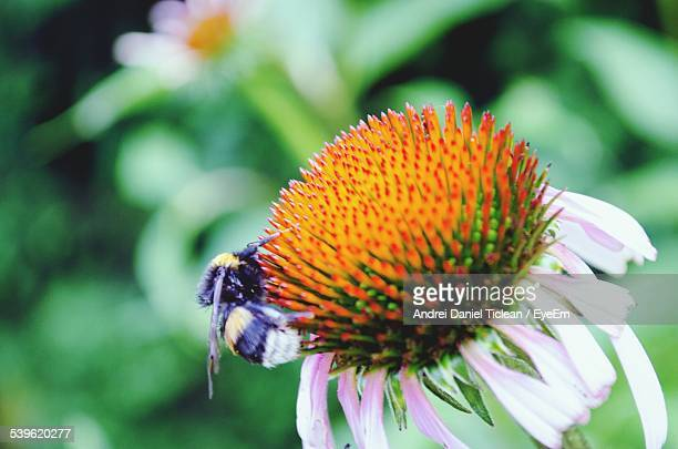 Close-Up Of Honey Bee Pollinating On Cone Flower