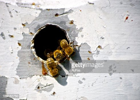 Closeup of Honey Bees in Beehive : Stock Photo