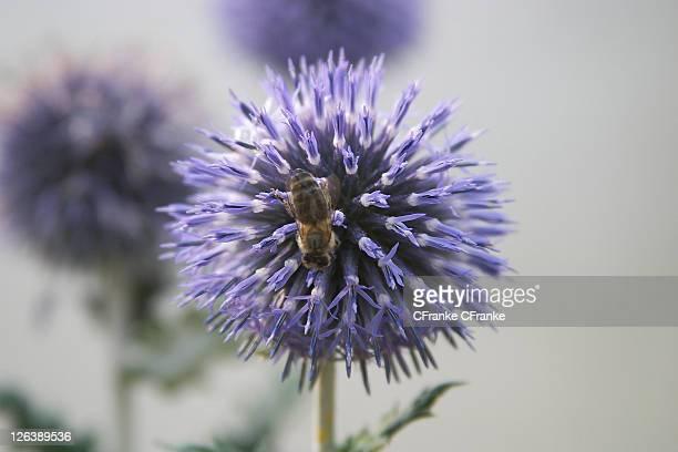 Close-up of honeybee pollinating flower