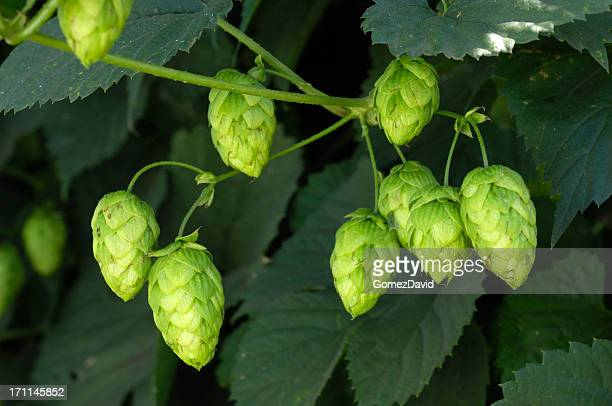 Close-up of Hops Growing on Plant