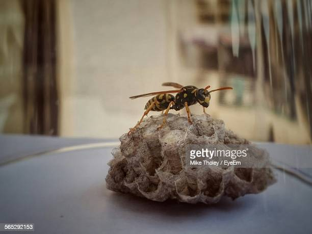 Close-Up Of Hornet On Wax At Table