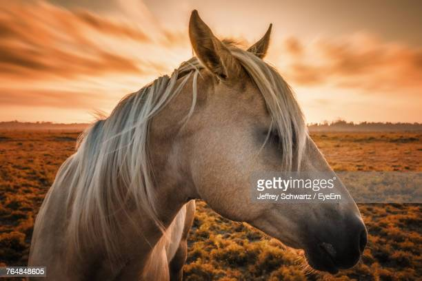 Close-Up Of Horse On Field During Sunset