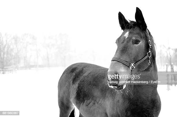 Close-Up Of Horse On Snowy Field