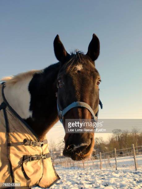Close-Up Of Horse Standing On Snow Field Against Clear Sky
