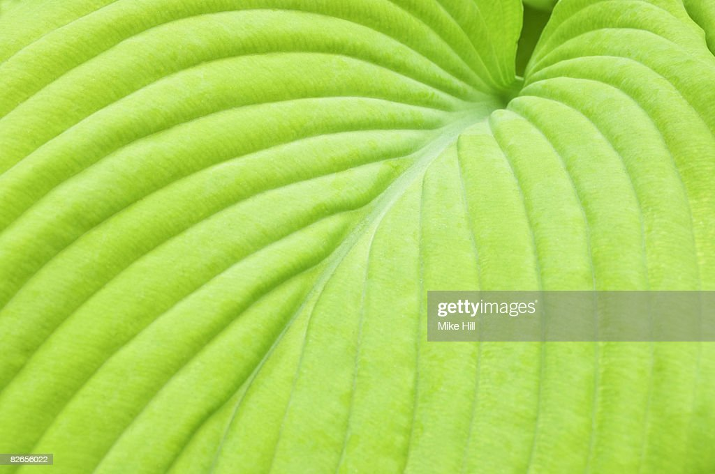Closeup of Hosta Leaf