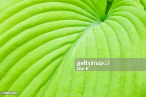 Closeup of Hosta Leaf : Foto stock