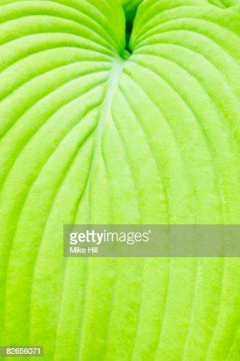 Closeup of Hosta leaf : Stock Photo