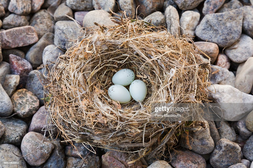 Close Up Of House Finch   Haemorhous Mexicanus Bird Nest With Three Eggs On  Bed