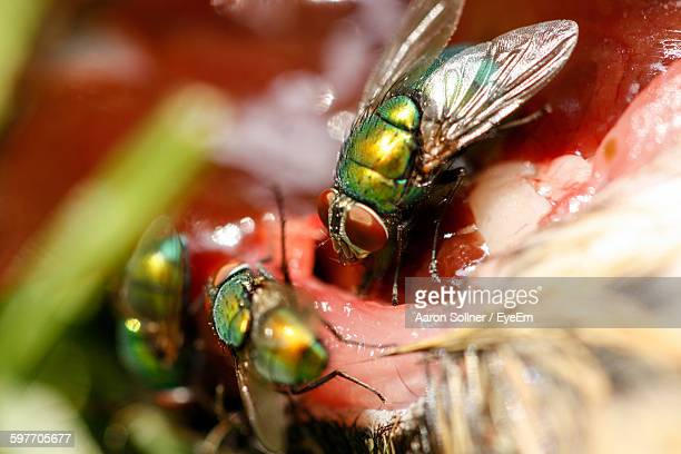 Close-Up Of Houseflies Feeding On Dead Animal