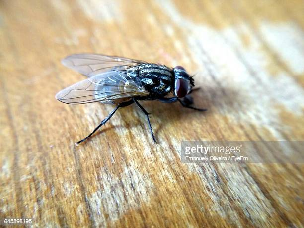 Close-Up Of Housefly On Table