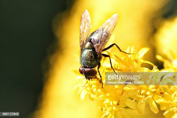 Close-Up Of Housefly On Yellow Flower